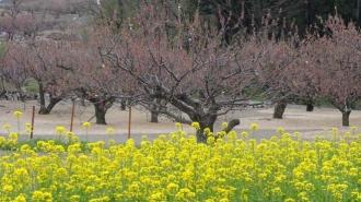 150419千曲市菜の花咲く杏の里