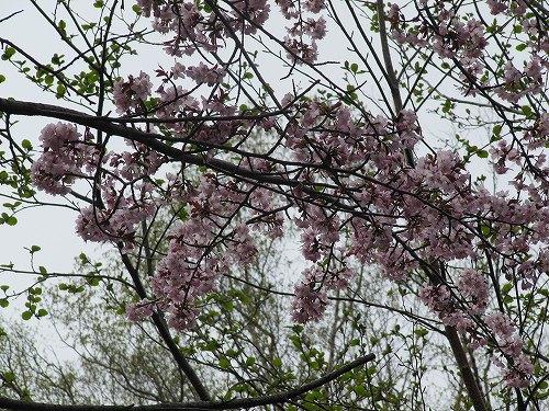 s-白金の桜