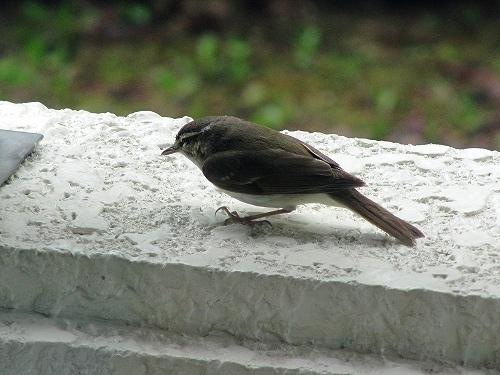 s-幼鳥。