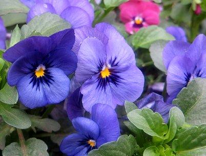 ビオラ青紫REVdownsize