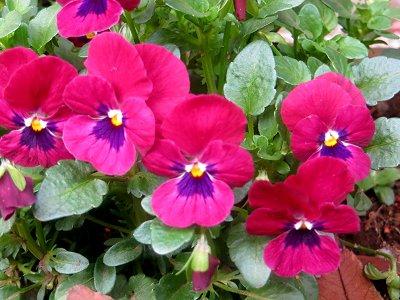 ビオラ赤紫downsize