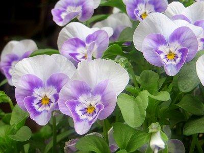 ビオラ白紫REVdownsize