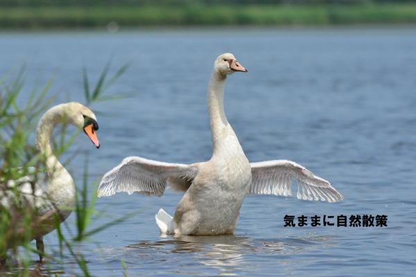20150811ウトナイ湖 (10)