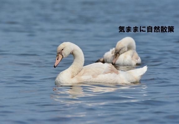 20150811ウトナイ湖 (11)