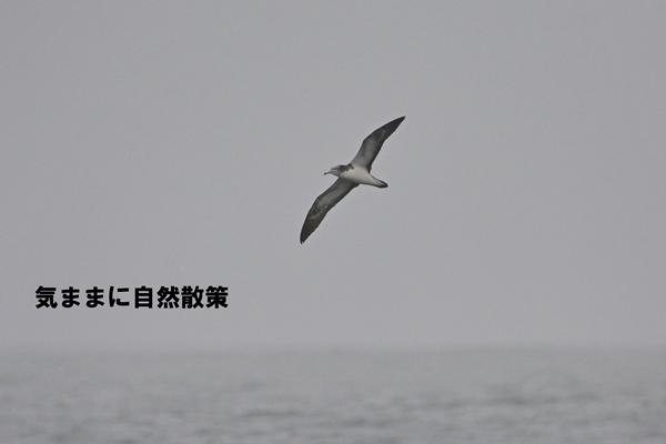 20150815オオミズナギドリ (1)