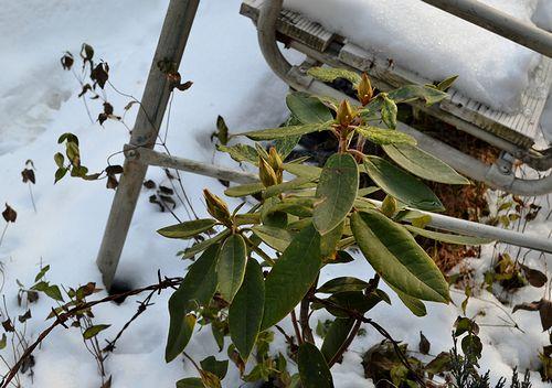1,3斑入りシャクナゲー赤花