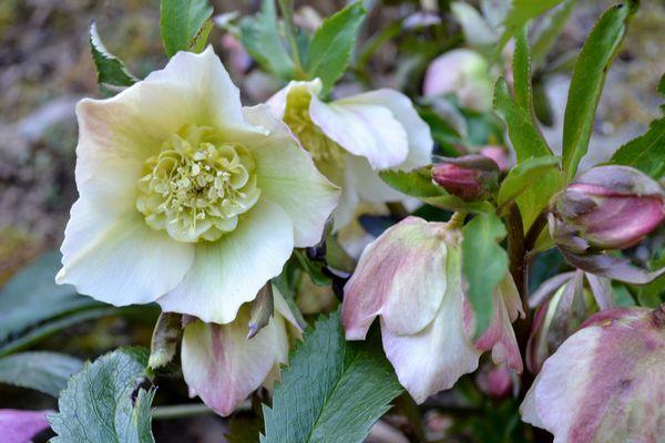 3,8アメモネ咲きのクリロー