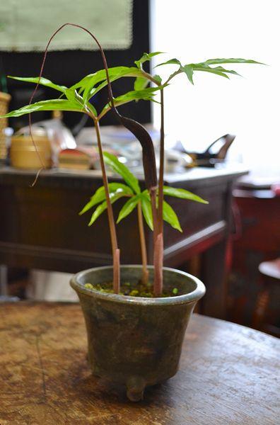 4,17ウラシマソウ鉢植え
