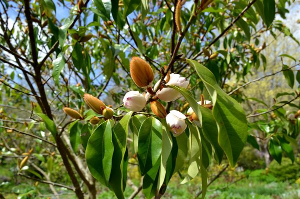 4,21植花夢-オガタマの木