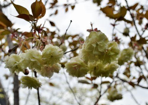 4,21植花夢-ギョイコウ