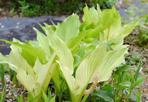 4,21植花夢-ホワイトフェザー