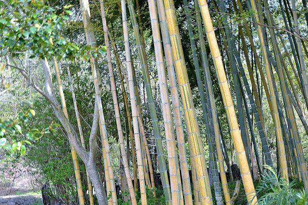 4,21植花夢-縞模様のある竹