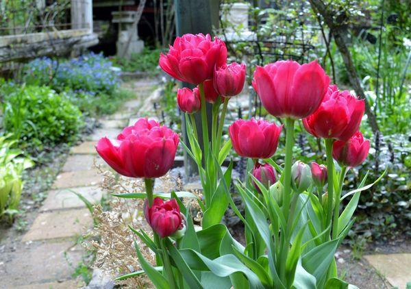 4,28枝咲きチューリップ