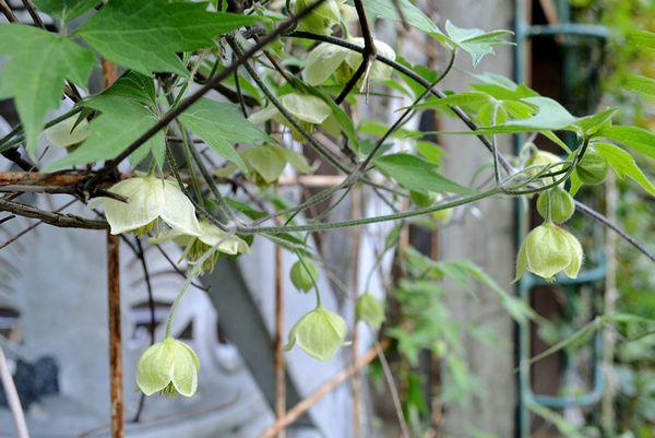 4,29白花ハンショウヅル-2