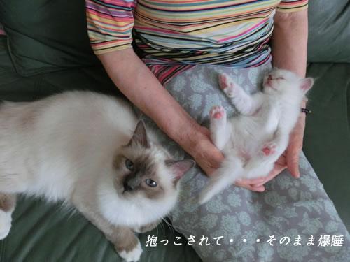 バーマン 子猫 お昼寝 爆睡