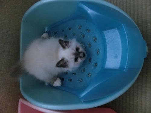 幸運を運ぶ子猫 Birman バーマン
