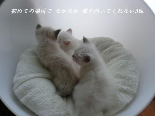 バーマン Birman 子猫 スターxエンジェル 幸運 天使