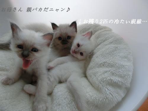バーマン 子猫 スターxエンジェル 幸運 天使