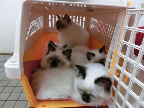 幸運を運ぶ子猫Birman バーマン猫