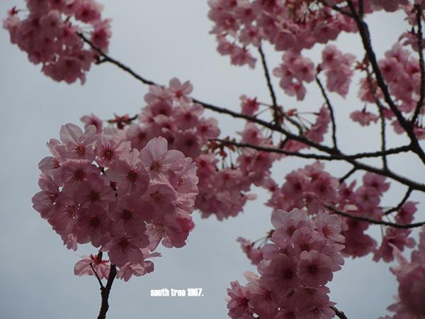 sakuraブログ用4