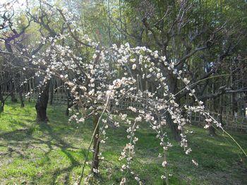 IMG_0031白の垂れ梅
