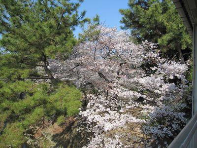 IMG_0128夙川桜