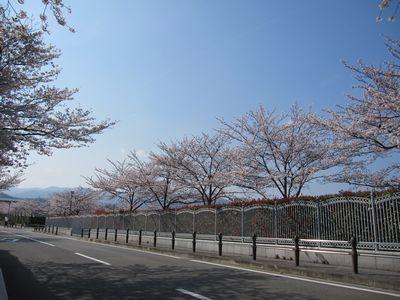 IMG_0148桜並木