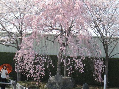 IMG_0149しだれ桜