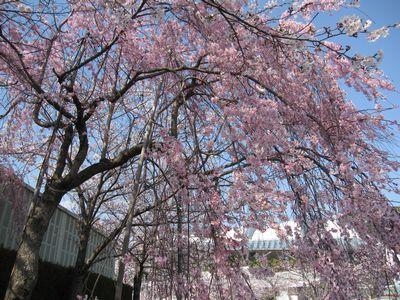 IMG_0151しだれ桜