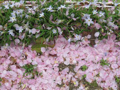 IMG_0189花にらと桜吹雪