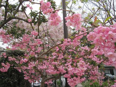 IMG_0183海棠桜1