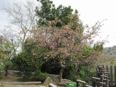 IMG_0198ボタン桜とみかん