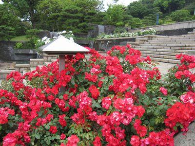 IMG_0009赤いバラ