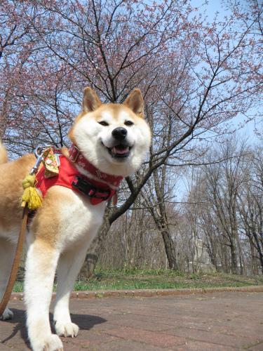 桜と柴犬2015