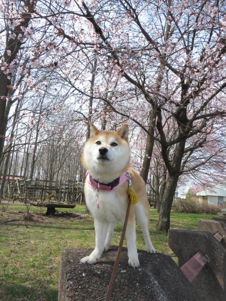 ドスコイ桜と柴犬