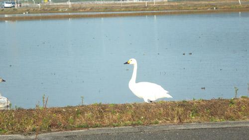 DSCF白鳥