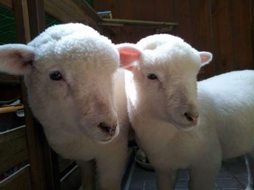 羊カフェ03