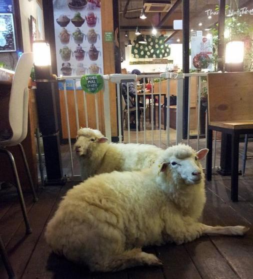 羊カフェ05