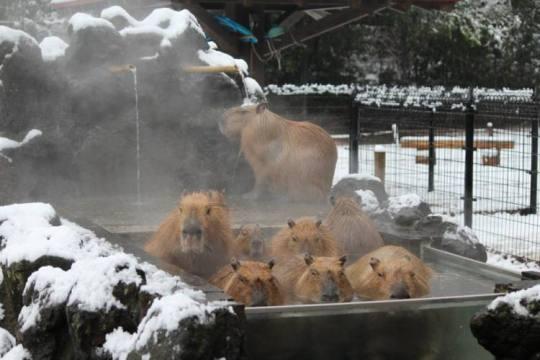 Capybaras01.jpg