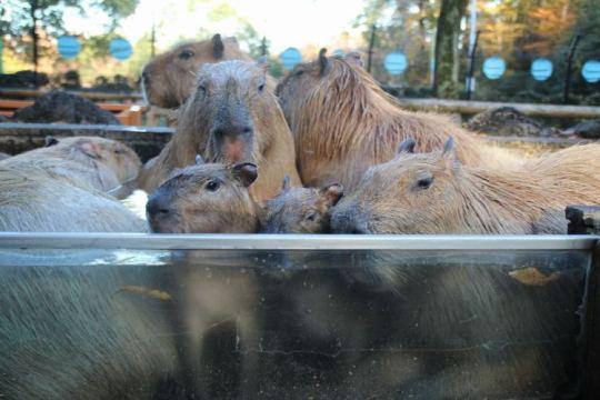 Capybaras02.jpg