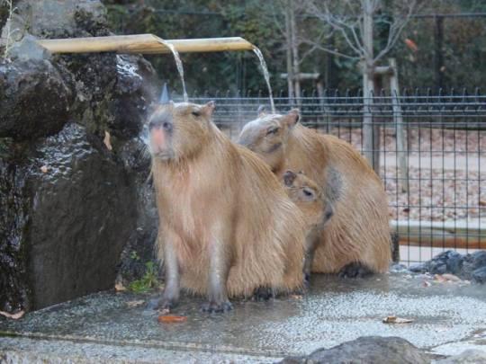 Capybaras03.jpg