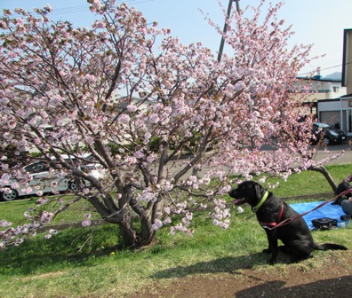 桜とツーショット