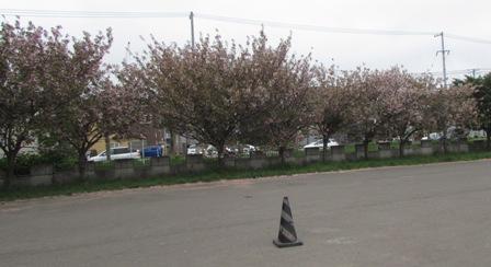 広場の桜も