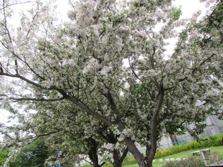 そろそろ桜が終わる