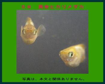 58黄金ヒカリメダカ