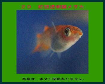 29紅頭透明鱗メダカ