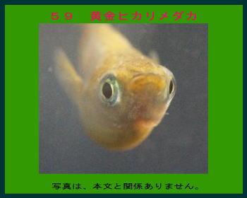 59黄金ヒカリメダカ