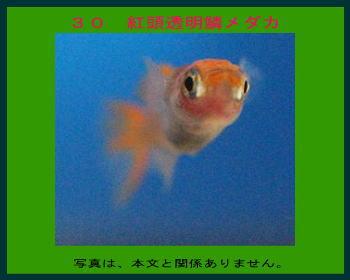30紅頭透明鱗メダカ