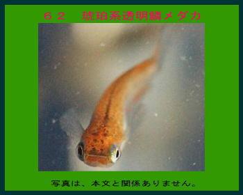 62琥珀系透明鱗メダカ