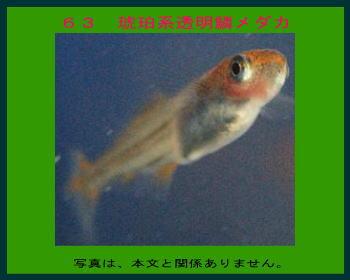 63琥珀系透明鱗メダカ